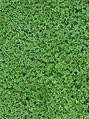 Clover (Trifolium repens).jpg