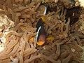 Clownfish (321379002).jpg