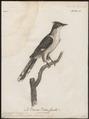 Coccystes jacobinus - 1796-1808 - Print - Iconographia Zoologica - Special Collections University of Amsterdam - UBA01 IZ18800271.tif