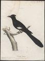 Coccystes serratus - 1786-1789 - Print - Iconographia Zoologica - Special Collections University of Amsterdam - UBA01 IZ18800273.tif