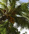 Coconut tree at Radisson (2897725008) 2.jpg