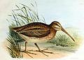 Coenocorypha barrierensis.jpg
