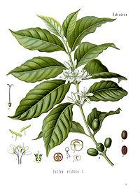 Coffea arabica - Köhler–s Medizinal-Pflanzen-189