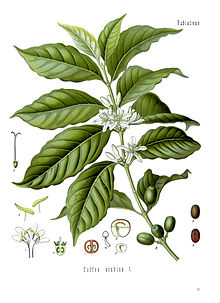 Illustration of a single branch of a plant. Broad, ribbed leaves are accented by small white flowers at the base of the stalk. On the edge of the drawing are cutaway diagrams of parts of the plant.