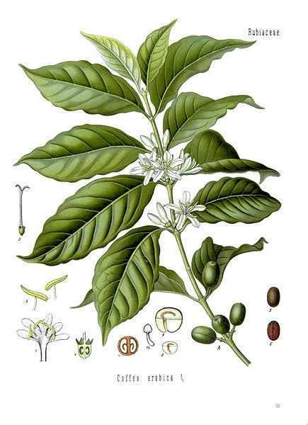 File:Coffea arabica - Köhler–s Medizinal-Pflanzen-189.jpg