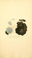 Coloured Figures of English Fungi or Mushrooms - t. 338.png