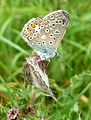 Common Blue underside. - Flickr - gailhampshire.jpg