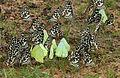 Common Emigrant (Catopsilia pomona) & Lime Butterfly (Papilio demoleus) mud-puddling W IMG 0276.jpg