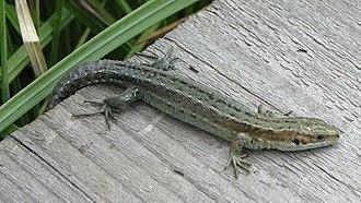 Thursley Common - Common Lizard on one of the boardwalks