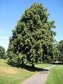 Common lime Tree (Tilia vulgaris) - geograph.org.uk - 1385325.jpg