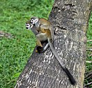 Guianan squirrel monkey