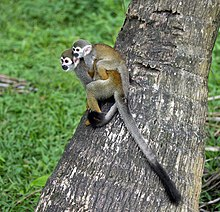 Common squirrel monkey Saimiri sciureus îlet la Mère French Guiana 2013.jpg