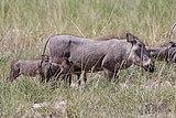 Common warthogs (Phacochoerus africanus sundevallii) suckling.jpg