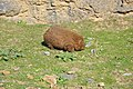Common wombat 1.jpg