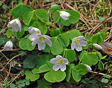 Common wood sorrel (aka).jpg