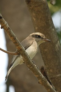 Common woodshrike (cropped).jpg