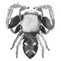 Comstock-Zygoballus-sexpunctatus.png