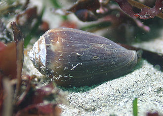 Conoidea - A live Californiconus californicus, in situ, anterior end on the right
