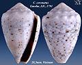 Conus coronatus 4.jpg