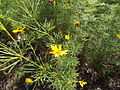 Coreopsis verticillata threadleaf tickseed.JPG