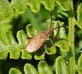 Coriomeris denticulatus - Denticulate Leatherbug (Coreidae) (29974407077).jpg