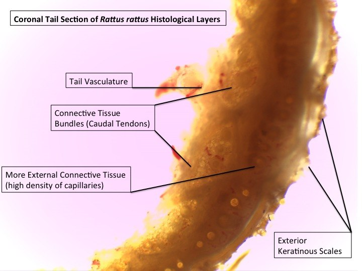 Coronal Cross Section of Histological Layers in Murid Tail