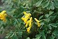 Corydalis lutea 5zz.jpg