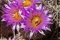 Coryphantha vivipara - Flickr - aspidoscelis (1).jpg