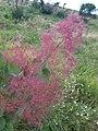 Cotinus coggygria, familija Anacardiaceae 02.jpg
