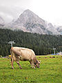 Cow and mountain.jpg