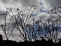 Cow parsley silhouette - geograph.org.uk - 244079.jpg
