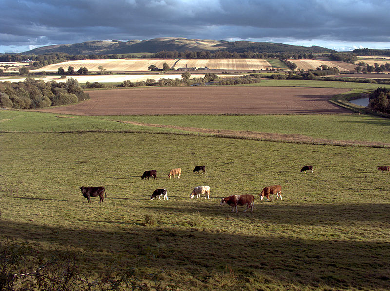 File:Cows in Strathearn.jpg