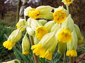 Cowslip (Primula veris) in Great Ashby District Park, Stevenage.jpg