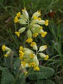 Cowslips by the Cotswold Way - geograph.org.uk - 434297.jpg