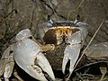 Crab (4002989130).jpg