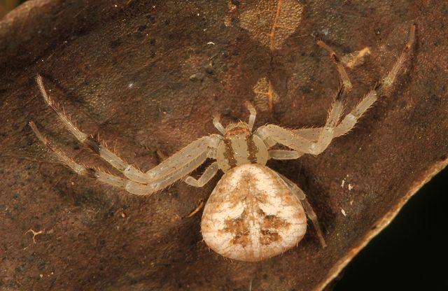 Spider Crab Size File:Crab Spider - Mec...