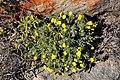 Crassothonna cylindrica (Asteraceae) (37414304996).jpg