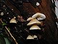 Crepidotus mollis (Schaeff.) Staude 459.jpg