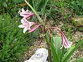 Crinum x herbertii Pat's Herbertia - Flickr - peganum (3).jpg