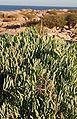 Crithmum maritimum Cap Negret.jpg
