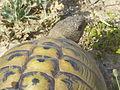 Crnovec - tortoise - P1100436.JPG