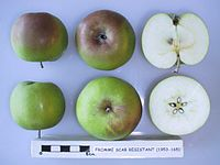 Cross section of Fromme Scab Resistant, National Fruit Collection (acc. 1953-165).jpg