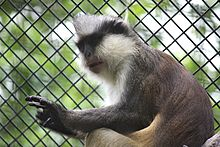Crowned Guenon 045.jpg