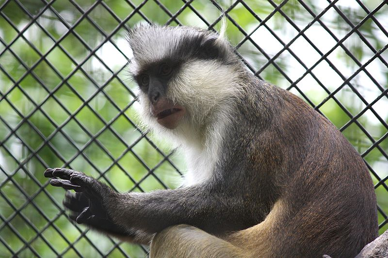Archivo:Crowned Guenon 045.jpg