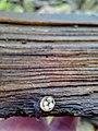 Crucibulum laeve 99305216.jpg