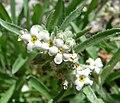 Cryptantha flavoculata 3.jpg