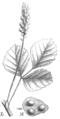 Cullen americanum Taub115d.png