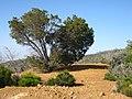 Cupressus forbesii at Coal Canyon-Sierra Peak, Orange County - Flickr - theforestprimeval (24).jpg