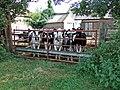 Curious Calves Westfields - geograph.org.uk - 549288.jpg