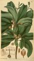 Curtis's Botanical Magazine, Plate 3111 (Volume 58, 1831).png
